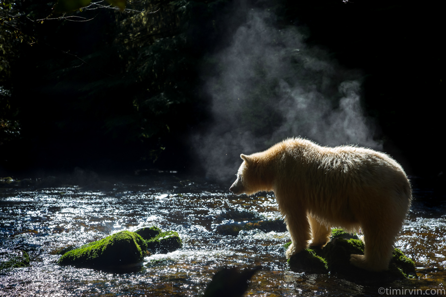 Steam rising off the back of a spirit bear in the Great Bear Rainforest