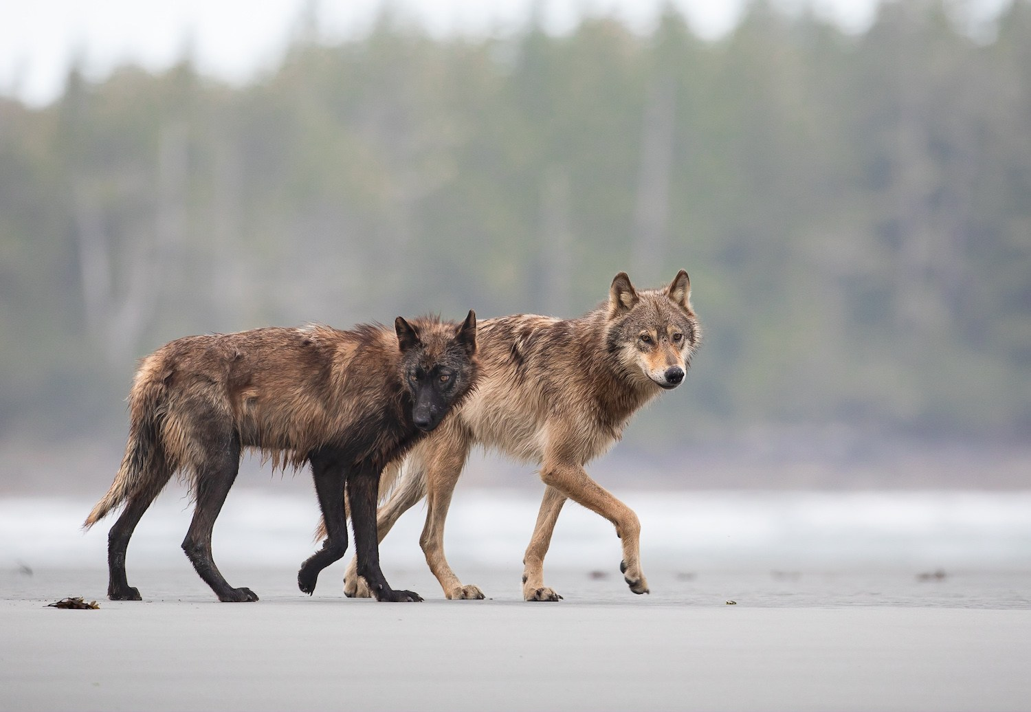 Two wolves walk side by side on the beach.